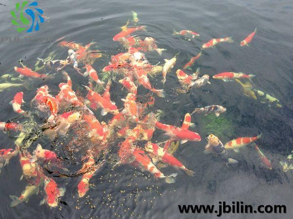 江苏某锦鲤鱼场——锦鲤鱼场景观水处理工程设计方案