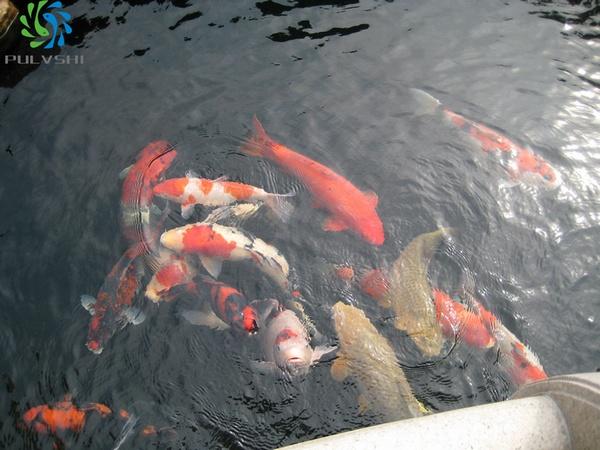 专业锦鲤养殖水处理·养好水就是养好鱼